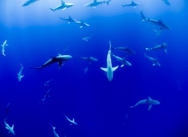 Group of sharks swimming